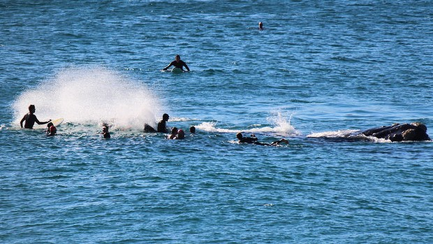 THE MOMENT OF IMPACT:  the 10-metre whale (right) moves its mighty tail with the surfers around it at Bondi Beach on Sunday.